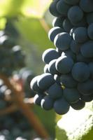 raisins rouges dans vignoble