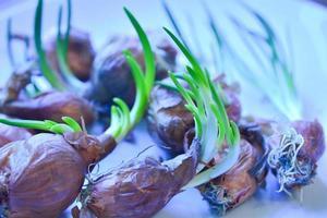 oignon frais photo