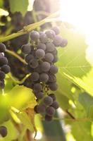 grappe de raisins. photo