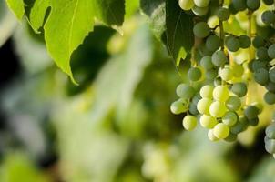 raisins verts non mûrs photo