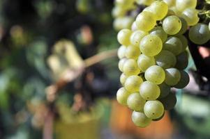 portrait d'une grappe de raisin photo