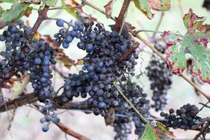 tas de raisins secs dans le vignoble en automne photo