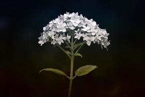 fleur dramatique photo