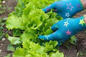 salade verte photo
