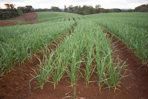 plantation d'ail photo