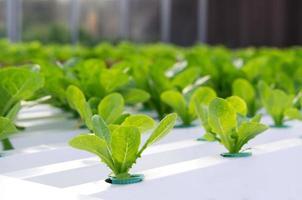 légume hydroponique à la ferme photo