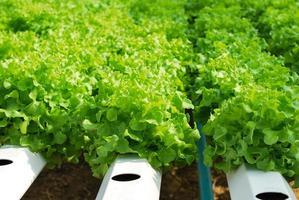 chêne rouge, chêne vert, culture hydroponique légume vert en f