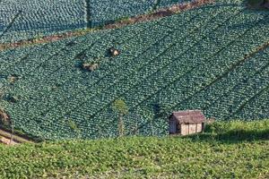 Champ de plantation de choux sur la montagne photo