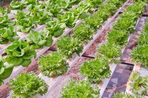 légumes hydroponiques photo