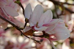 arbre de magnolia photo