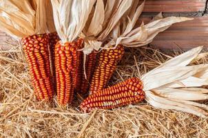 quelques épis récemment récoltés. maïs rouge
