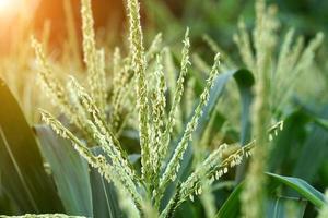 fleur de maïs. photo