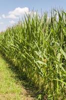 culture du maïs photo