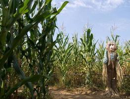 Jackstraw dans le champ de maïs photo