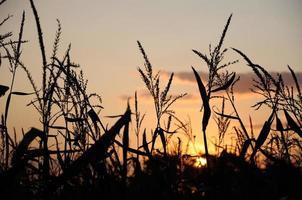 soleil du soir derrière le champ de maïs photo