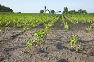 champ de maïs avec des dégâts d'eau