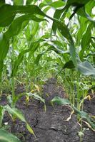 sol sec sur champ de maïs photo