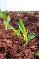 jeune semis de maïs. photo