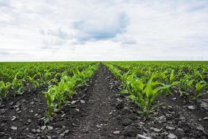 champ de maïs vert photo