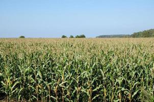 vue du champ de maïs photo