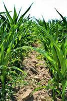 jeunes plants de maïs photo