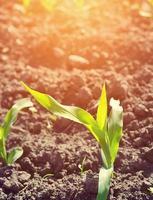 les jeunes semis de maïs poussent