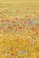 champ de blé avec champ de pavot