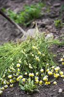 mauvaises herbes dans le champ de maïs
