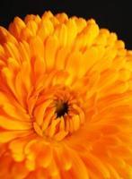 fleur de calendula orange photo