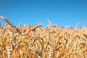 champ de blé et ciel bleu
