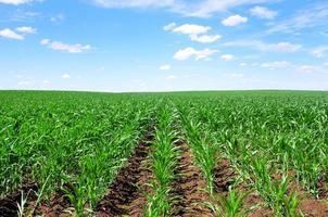 champ de maïs au sud du portugal