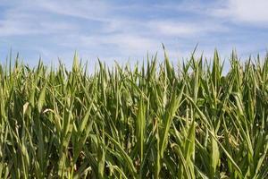 champ de maïs en été