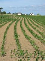 champ de maïs au printemps