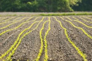jeunes groths de maïs photo