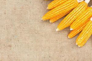 épis de maïs mûr sur le sac photo
