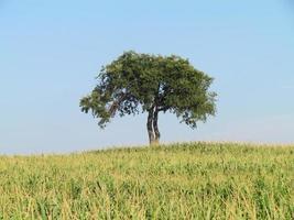 arbre parmi le maïs