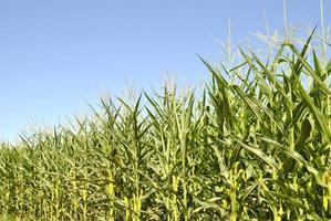 maíz photo