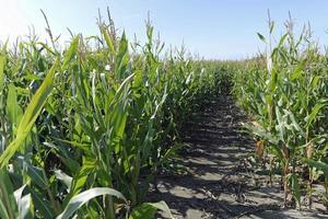 champ de maïs photo