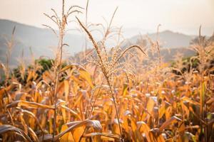 fleur de maïs photo