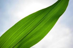 feuille de maïs photo