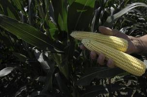 maïs de récolte fraîche photo