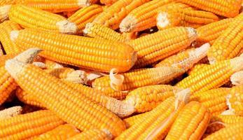 tas de maïs photo