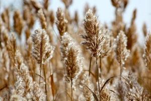 herbe de plume
