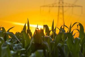 ligne électrique dans un ciel jaune au lever du soleil en été photo