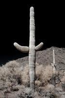 désert saguaro photo