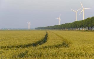 Maïs poussant sur un champ au printemps