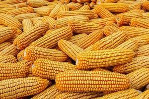 beaucoup de la récolte de grains de maïs en automne