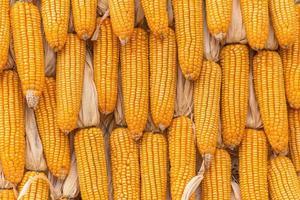 Produits agricoles de maïs sucré à la ferme
