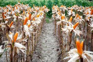 la récolte de maïs est prête à l'usine à côté de la consommation photo