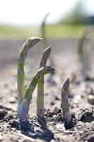 asparagus.jh photo